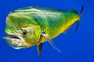 Dolphin-Mahi Mahi-FishingCostaRica