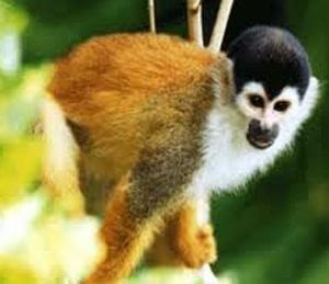 squirrel monkey manuel antonio