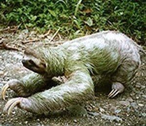 three toed sloths atmanuel antonio