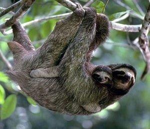 three toed sloths