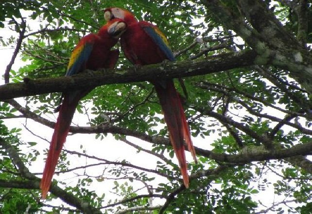 Carara Red Macaw